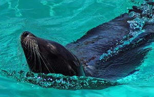 The picture of The Californian Sea Lion
