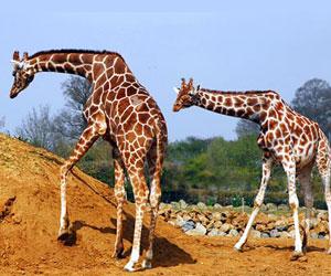 Fun Facts on Giraffes for kids ***