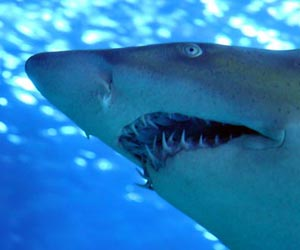 Fun Facts on Sharks for kids ***